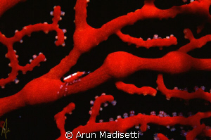 cryptic crab in gorgonian
